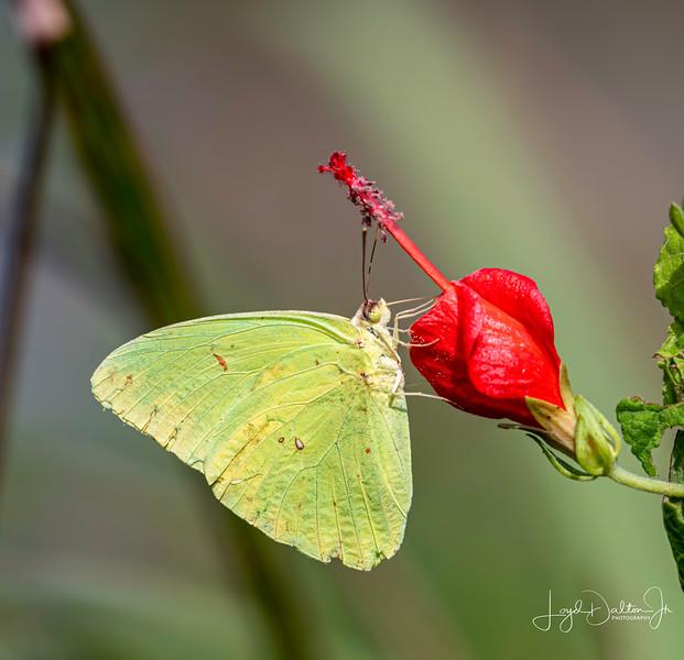 Cloudless Sulphur Butterfly - Attwater Prairie Chicken National Wildlife Refuge