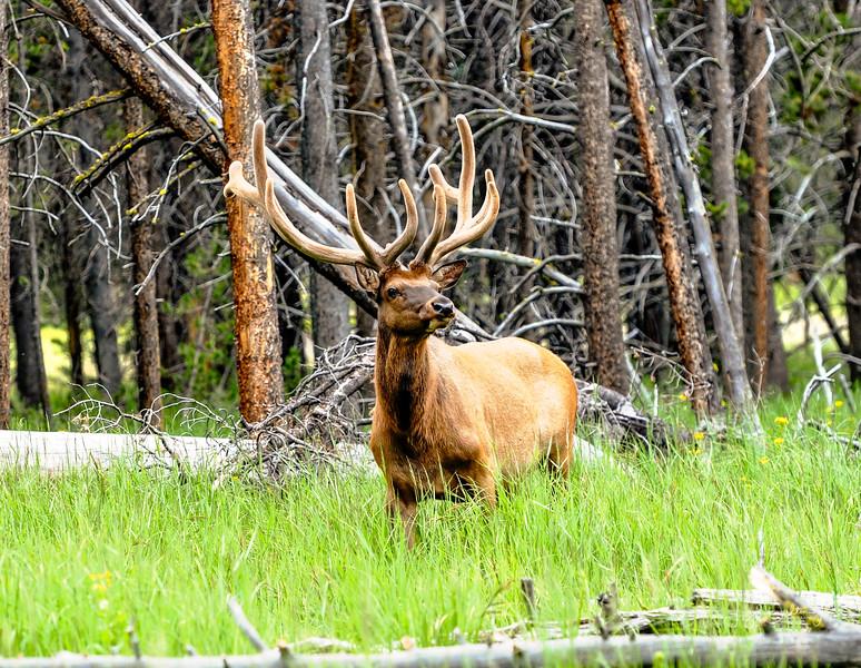 Yellowstone National Park - Elk