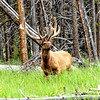 Yellowstone National Park - Elk