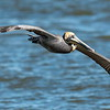 The Brown Pelican might not look like the most coordinated fella while walking around on the ground.  In fact he is downright awkward looking!  But, when he takes off, he owns the air!  This image was taken at the 23rd Street pier where a lot of the shrimpers dock their boats.  He was following a shrimper hoping for a free meal as the shrimper was going to cull his catch!