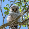 Barred Owl - Brazos Bend State Park, Needville, Texas