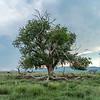 The Old Tree - Marathon, Texas