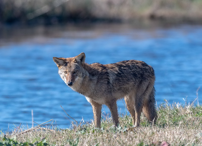 Coyote - (Canis latrans)