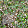American Bittern at Brazos Bend State Park, Needville, Texas
