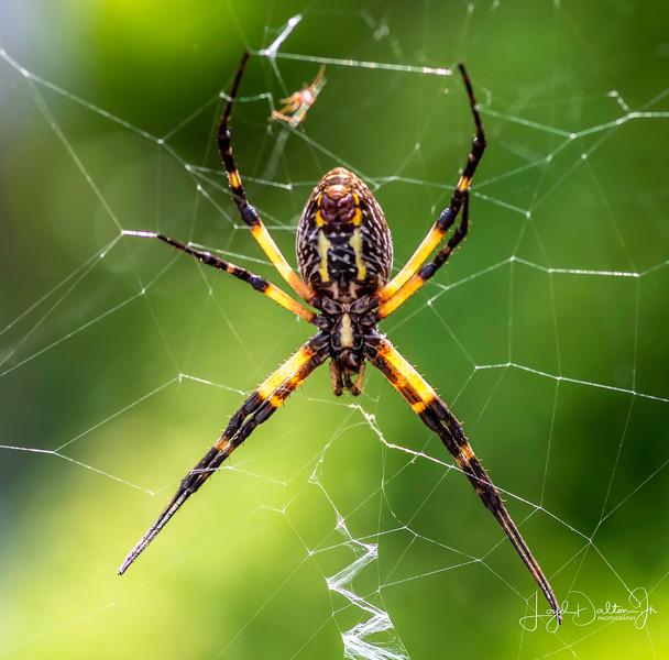 Yellow & Black Garden Spider