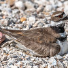 I almost didn't see the Killdeer on the nest because of her camouflaged feathering blending into the gravel!  She sat motionless letting her natural defense do its job!