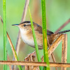Marsh Wren - Anahuac National Wildlife Refuge