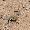 Common Earless Lizard - Big Bend National Park