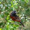 Orchard Oriole - Anahuac National Wildlife Refuge