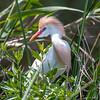 Cattle Egret - Anahuac National Wildlife Refuge