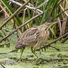 American Bittern, Brazos Bend State Park, Needville, Texas