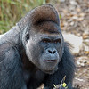 Western Lowland Gorilla - Houston Zoo