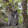 Over the last few years, there has been a pair of Great Horned Owls that have nested at Brazos Bend State Park.  This Spring being no exception, a friend told us where they were located and we went to photograph them.  This image is of the female perched close by the nest where she is keeping a watchful eye over two young owlets