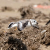 Piping Plover at Bolivar Flats Shorebird Sanctuary