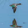 Green-winged Teal- Drake