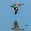 Green-winged Teal- Drake