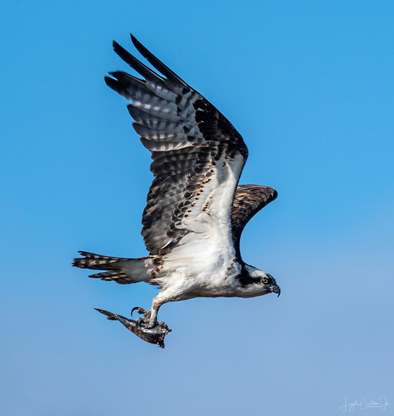 Osprey with dinner on the fly!