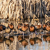 Black-bellied Whistling Ducks - Anahuac National Wildlife Refuge