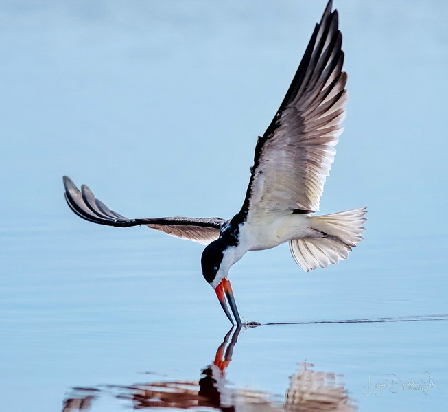 Black Skimmer - Texas City Dike  - Texas City, Texas