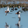 Aerial Duel at Cattail Marsh!