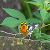 Blackburnion Warbler