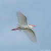 Cattle Egret - Anahauc National Wildlife Refuge