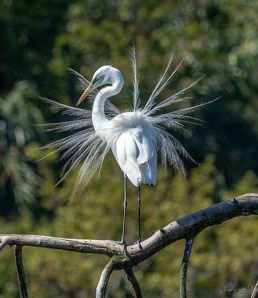 White Egret - Shangri La Botanical Gardens and Nature Preserve, Orange, Texas