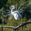 White Egret - Shangri La Botanical Gardens and Nature Preserve, Orange, Texas