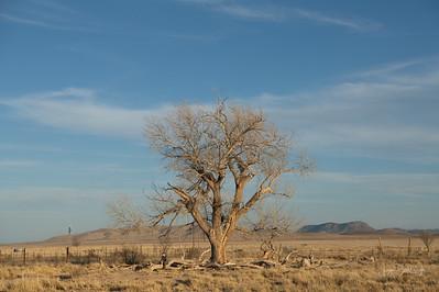 The Old Tree,  Marathon, Texas