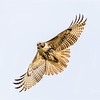 Red-tailed Hawk - Anahuac National Wildlife Refuge