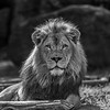 Hasani - the resident Male Lion at the Houston Zoo