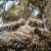 Owlets - Brazos Bend State Park, Needville, Texas