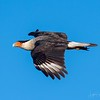 Crested Caracara - Anahuac Duck Camp