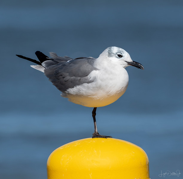 Laughing Gull - Bolivar Ferry, Galveston, Texas