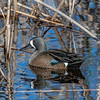 Blue-winged Teal- Drake