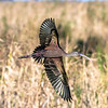 White-faced Ibis - Anahuac National Wildlife Refuge