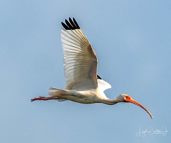 White Ibis - Anahuac National Wildlife Refuge