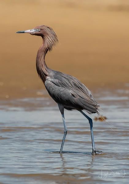 The Reddish Egret