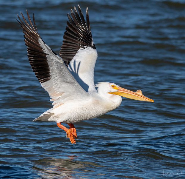 White Pelican at 23rd Street, Galveston, Texas