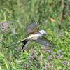 Scissor-tailed Flycatcher - Anahuac National Wildlife Refuge