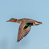 Green-winged Teal - Drake