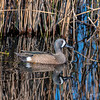 Blue-winged Teal - Drake