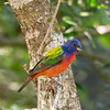 Painted Bunting - Anahuac National Wildlife Refuge