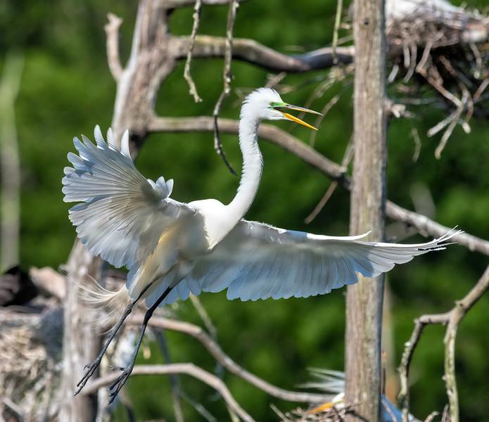 White Egret in breeding plumage -  Shangri La Botanical Gardens and Nature Center - Orange, Texas