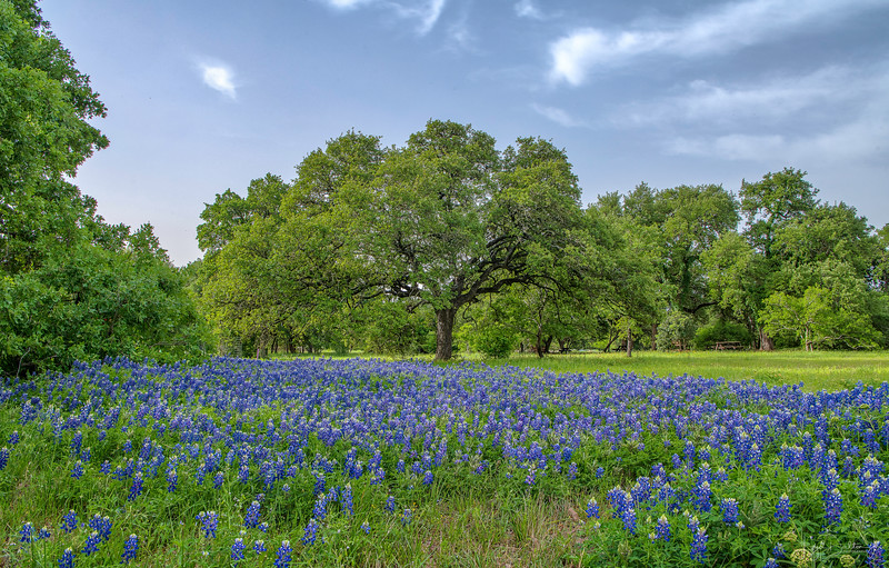 Bluebonnets at Lady Bird Johnson Wildflower Center - Austin, Texas