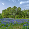 Bluebonnets at Lady Bird Johnson Wildflower Center - Austin, Texas