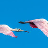 Roseate Spoonbills - Anahuac National Wildlife Refuge