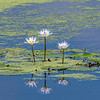 Lilies of the Lily Pads - Anahuac National Wildlife Refuge