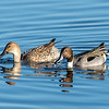 Northern Pintails - Cattail Marsh, Beaumont, Texas