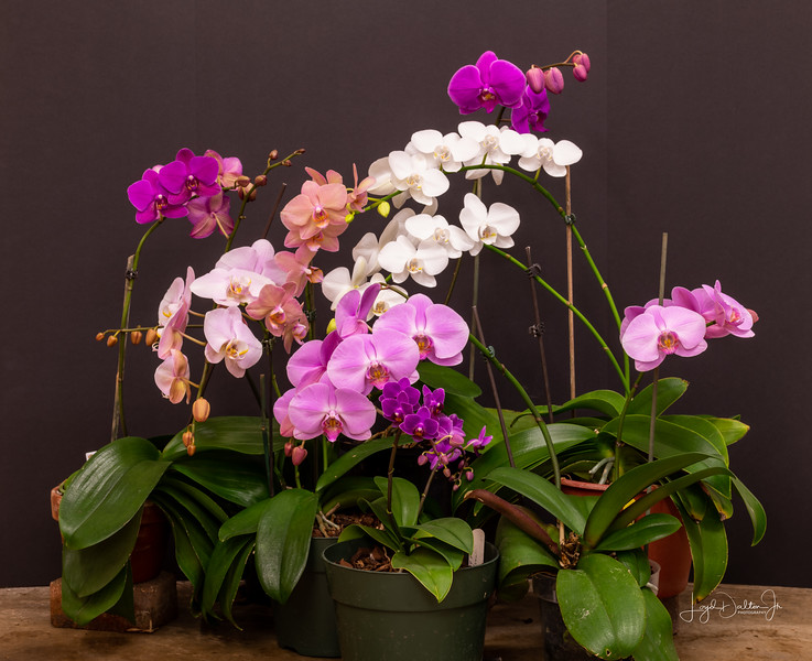 Focus Stacking with the Orchids
